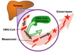 механизм действия статинов на холестерин