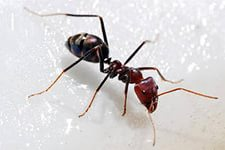 экстракт муравьев