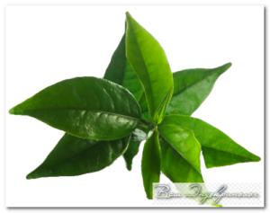растения-антибиотики алоэ вера чайное дерево