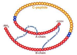 строение с-пептида