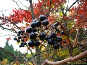 плоды амурского бархата