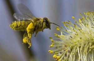 пчелиная пыльца как получают