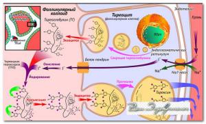 тиреглобулин при раке